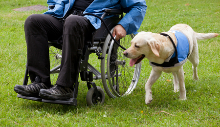 incapacitated: Labrador guide dog and his disabled owner on green grass. Stock Photo