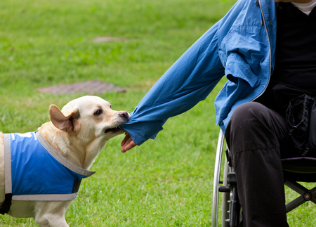 incapacitated: Labrador guide dog removes the jacket to his disabled owner.