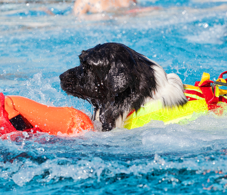 Lifeguard dog, rescue demonstration with the dogs in swimming pool.
