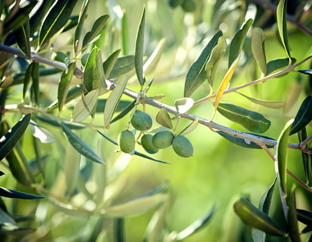 tuscan: Olive branch with Tuscan olives in September.