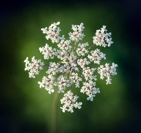 queen anne   s lace: Queen Anne s lace, Wild Carrot, Daucus carota, closeup of flowering umbel.