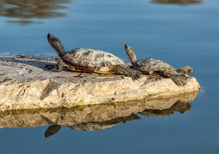 Two water turtles on the rock with sunlight
