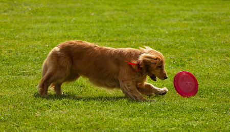 Playing Golden Retriever Catching Frisbee on green grass. Stock Photo