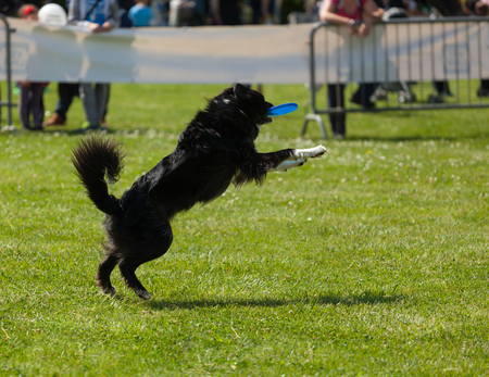 Border Collie dog palying with frisbee in outdoors park on green grass. Stock Photo