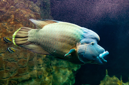 Cheilinus undulatus  or Humphead wrasse, also known as the Napoleon fish.