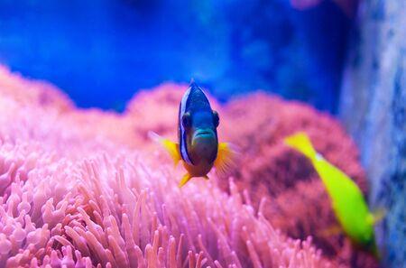 Closeup of a blue tang surgeonfish, popular tropical aquarium pet, exotic fish from the pacific ocean.