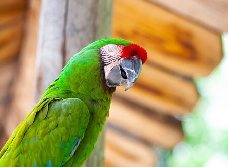 Macaw Parrot bird, a brightly coloured bird of the parrot family found in Central and South America.