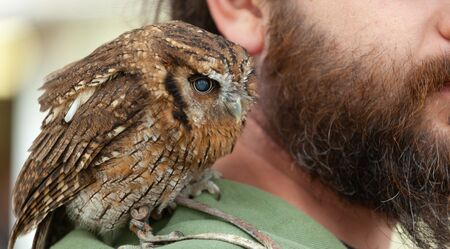 Small brown owl sitting on shoulder of the trainer. Stock Photo
