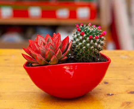 Cactus and Echeveria Miranda Color in a red pot. Christmas idea and decoration with succulent plants.