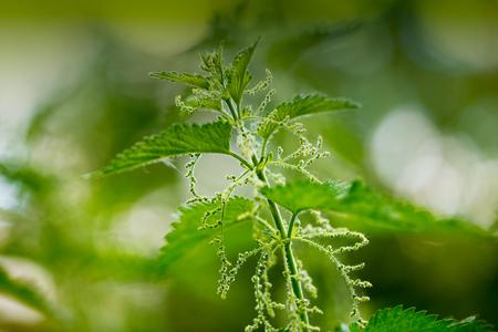 urtica dioica: Stinging nettle in the garden. Urtica dioica. Stock Photo