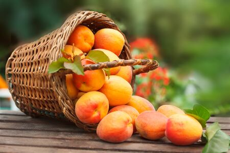 Apricot. Ripe Organic Apricots in wicker basket with leaves on a  wooden table over green nature blurred background in a orchard.