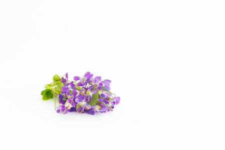 Bunch of violets, over white background with copy space
