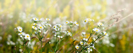White chamomile flowers on a summer sunny day. Wild flowers in the meadow with sun rays..
