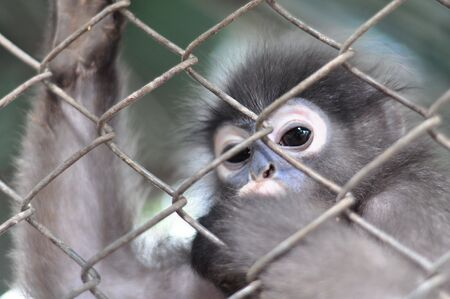 Gibbon in the cage. photo
