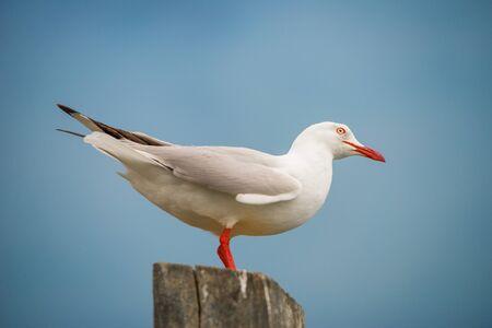 seagull Banque d'images