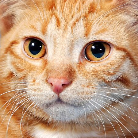 Yellow eyes of red cat large portrait Foto de archivo