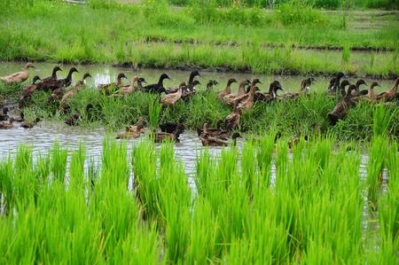 quack: Ducks in the field