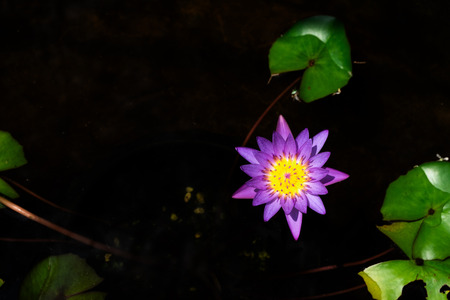 Beautiful lotus flower is complemented by the rich colors of the water surface. Standard-Bild