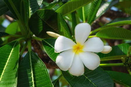 White and yellow plumeria flowers on a tree.