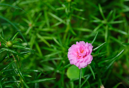 Pink portulaca oleracea flower with fresh green of leaf. Thailand's flower. Small flower in pot. Shooting flower in the morning. Standard-Bild