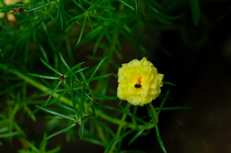 Yellow portulaca oleracea flower with fresh green of leaf. Thailand's flower. Small flower in pot. Shooting flower in the morning.
