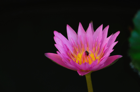 Beautiful lotus flower is complemented by the rich colors on the surface of water. Lotus flower full bloom at noon of day. Pink lotus and yellow pollen.