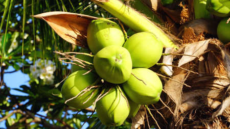 The group of raw coconut on the coconut tree. Stock Photo