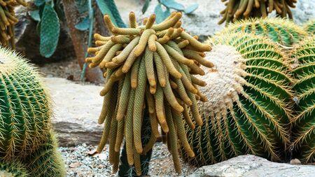 Green cantus live in the public garden.