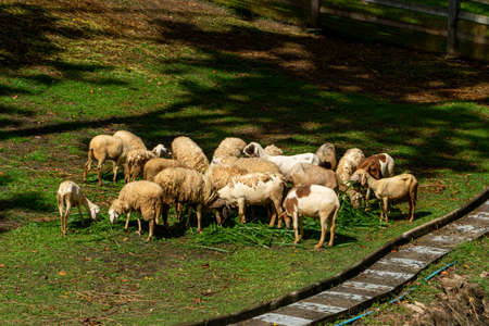 Sheep and goats graze on green grass in spring.