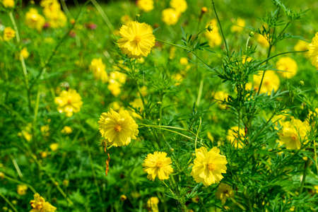 Yellow flowers and blurred green natural background.