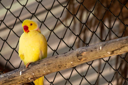 A beautiful yellow parrot is chilling out while standing in wooden beams. Standard-Bild