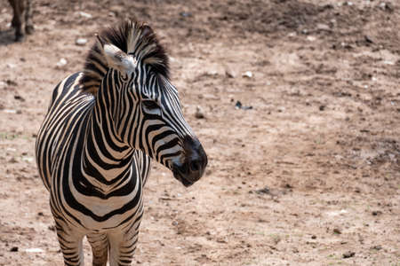 Adorable Zebra portrait. Looking with curiosity and suspicion carefully examines wondering. Beautiful wild nature animal close-up face. soft light.