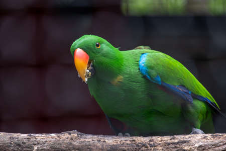 Green parrot wild rare bird in the natural habitat, sitting on the branch in the cage.
