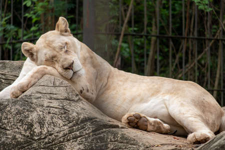 Close-up of a lioness lying down to sleep on the stone. Standard-Bild