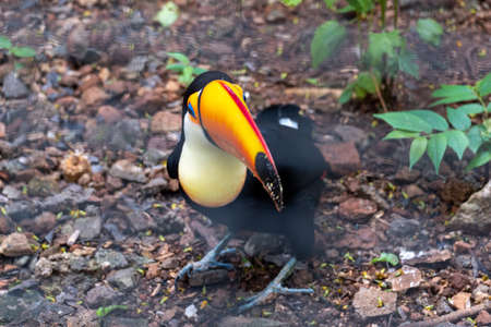 Exotic toucan bird in natural on the zoo.