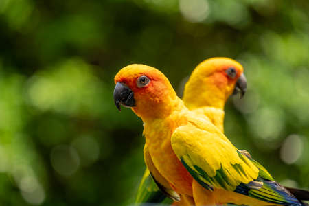 The two beautiful yellow parrots are chilling out while standing in wooden beams.