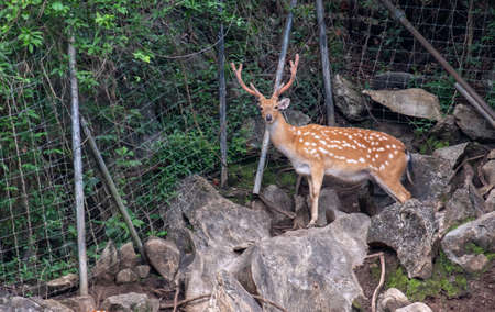 Wild deer male in the forest on the zoo, Asia. Standard-Bild