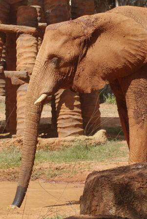 korat: Elephant in Korat Zoo