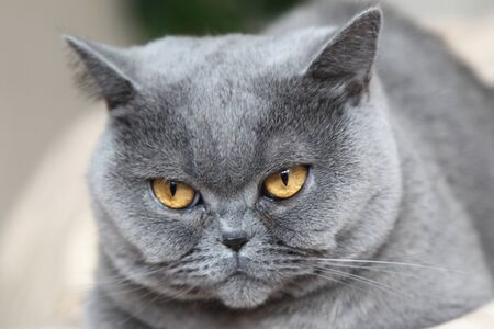 the British short-haired cat a serious look Stock Photo