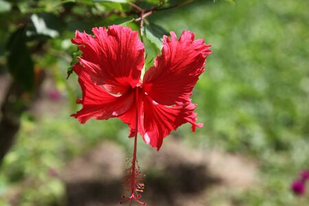 red tropical flower, Koh Samui, Thailand, Southeast Asia