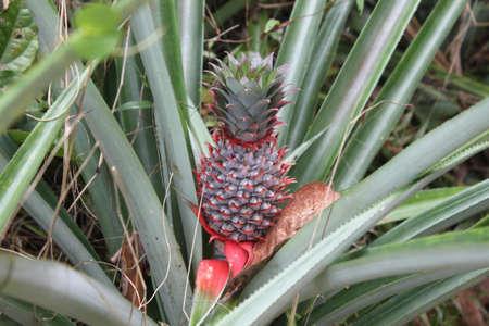 pineapple Stock Photo - 12152385