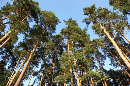 pine trees against the blue sky, Russia Stock Photo