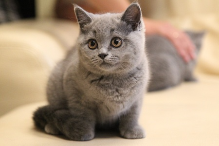 British Shorthair kitten blue color