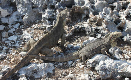 a large lizard, iguana island, Cuba, Caribbean Stock Photo
