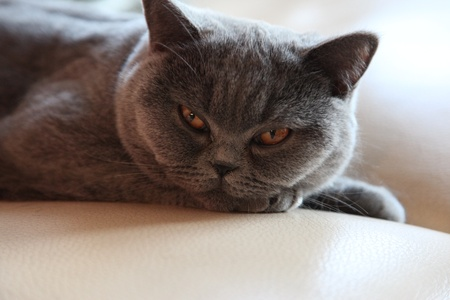 cat breeds British Shorthair