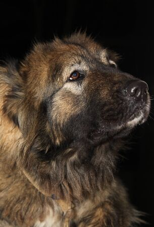 caucasian shepherd: A true friend, Caucasian Shepherd Dog breed