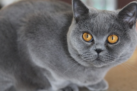 lady cat breeds British Shorthair, blue color