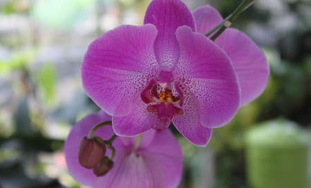flowering orchid purple a beautiful picture, Thailand