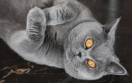 grapple: lady cat breeds British Shorthair, blue color