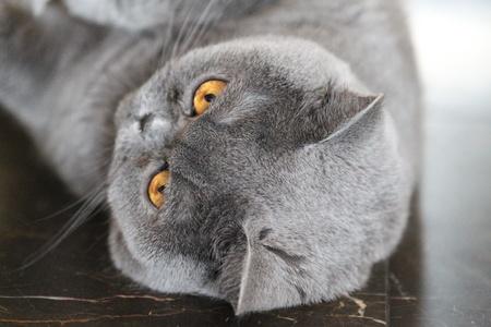 grapple: lady cat breeds British Shorthair, blue color